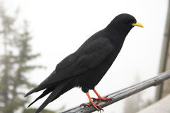 Free Crow In Front Of White Background Stock Photography - 13090332
