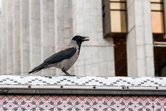 The crow in its beak holds a nut royalty free stock image