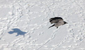 Crow and its shadow Royalty Free Stock Image