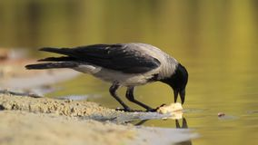 Crow on the lake eats cheese. Wildlife birds stock video footage