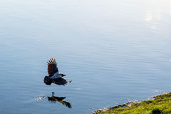 Crow on a lake Stock Photo