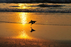 Crow lands on an ocean coast. Sunset. Royalty Free Stock Photo
