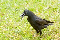 Crow on the lawn Stock Photos