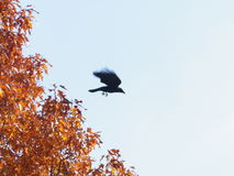 Crow leaving an autumn tree stock image