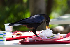 Crow with leftover lunch Royalty Free Stock Photos
