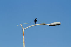 Crow. On a light pole Stock Photos