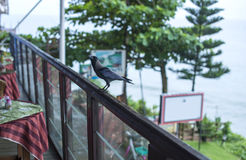 Crow at a local cafe on the cliff in Varkala. India royalty free stock photo