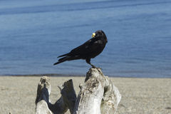 Crow on a log eating cracker. Royalty Free Stock Image
