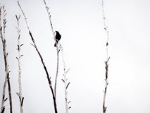 Crow. Lonely crow on top of trees in winter Royalty Free Stock Photography