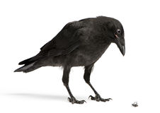 Crow Looking down at a dead fly Royalty Free Stock Images