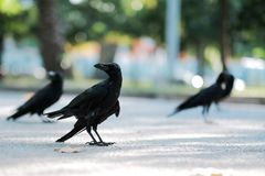 Crow is looking for food on the street royalty free stock image