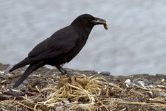 Crow looking for nest material Stock Image