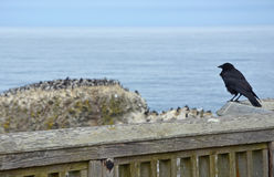 Crow looking at ocean Stock Images