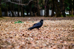 A Crow Looking at You. A Jungle Crow looking at you in Yoyogi Park, Tokyo Stock Image
