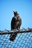 Crow on the lookout Royalty Free Stock Photos