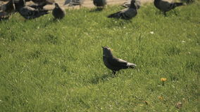 Crow looks at the pigeons - slowmotion 180fps stock video footage