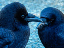 Crow Love. A pair of crows looking after one another Stock Image