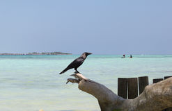 Crow on the Maldives Stock Photography