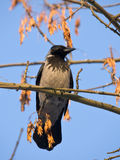 Crow on a maple branch Stock Photos