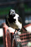 Crow on metal fences Stock Photography