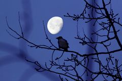 The Crow and the Moon. Moon always attracts our attention. Every time it is different and beautiful. Depending on the atmospheric conditions and the time it is Royalty Free Stock Photography