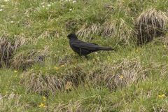 Crow on the mountain Royalty Free Stock Photography