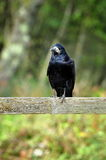 Crow  in natural landscape Sweden Royalty Free Stock Photos