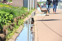 Crow near the puddle. spring in town. Big crow on a walk on a Sunny day. Crow near the puddle, selective focus. spring in town. Big crow on a walk on a Sunny day stock photo