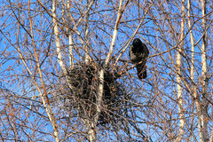 Crow at a nest Stock Photography