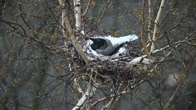 Crow in the nest hatches chicks. Crow in the nest covered snow protects their offspring stock footage