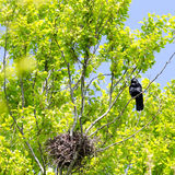 Crow nesting Royalty Free Stock Photography