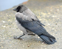 Crow nestling Stock Images