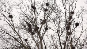 Crow in nests on tree stock video