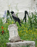 Crow on an old tomb Royalty Free Stock Images