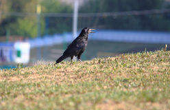 Crow with open beak walk on meadow Royalty Free Stock Images