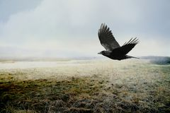 Crow Over Marsh. This is a multi-layered image of an American Crow over a salt marsh in MA. I combined the two images using different transparencies and overlays Stock Photo