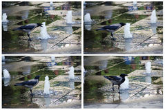 Crow at the park pool drinking water Royalty Free Stock Image