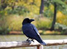 Crow in the park Royalty Free Stock Photo