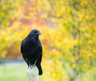 Crow in the Park Royalty Free Stock Images