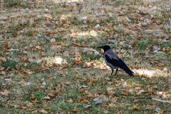 Crow in the park royalty free stock image