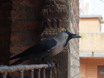 Crow. Perched on balcony Stock Photos