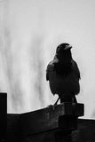 Crow Perched on Brown Wooden Plank Royalty Free Stock Photos