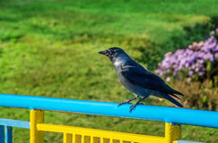 The crow perched on a handrail. With nature background royalty free stock images