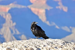 Crow. Perched over the Grand Canyon, Arizona Stock Image