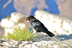 Crow. Perched over the Grand Canyon, eating a grape, Arizona Royalty Free Stock Images