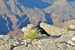 Crow. Perched over the Grand Canyon, eating a grape, Arizona Royalty Free Stock Photos
