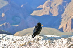 Crow. Perched over the Grand Canyon, eating a grape, Arizona Stock Image