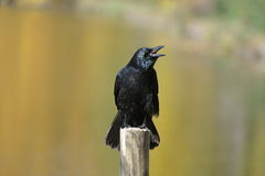 Crow. Perched on a picket, in a field Royalty Free Stock Photo