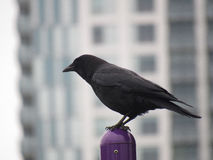 Crow Perched on Pole Up Close Royalty Free Stock Photos