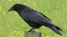 Crow perched on a post in sunshine 2 stock photo
